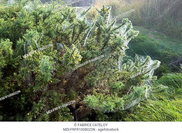Spider webs on a bush