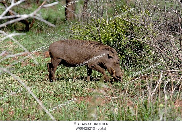 Side profile of a Warthog Phacochoerus Aethiopicus in a forest, Kruger Park, South Africa