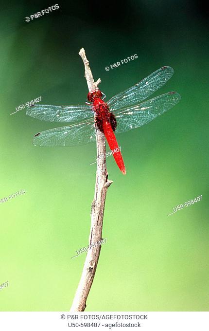Erythemis mithroides, Claret Pondhawk, dragonfly, Libellulidae,  Luís Antônio. Sao Paulo. Brazil