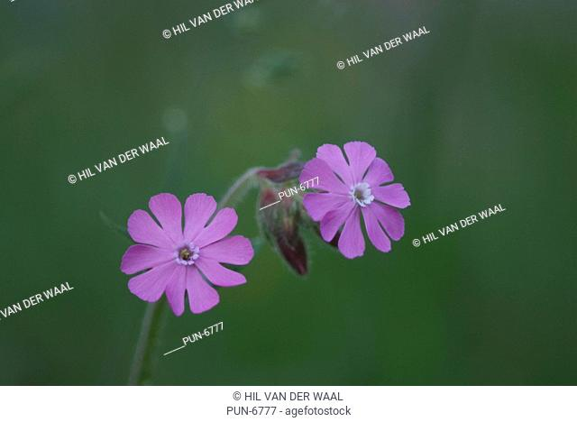 Red campion Silene dioica in forest