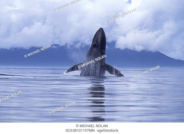 Adult Humpback Whale Megaptera novaeangliae breaching with pectoral fins spread wide in Icy Strait, Southeast, Alaska, USA