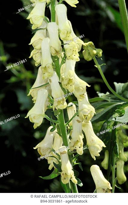 Aconitum lamarckii, herbaceous plant species of the genus Aconitum in the family Ranunculaceae. It blooms early-late summer with yellow flowers produced on tall