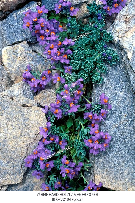 Alpine Toadflax (Linaria alpina), Hohe Tauern National Park, East Tyrol, Austria, Europe