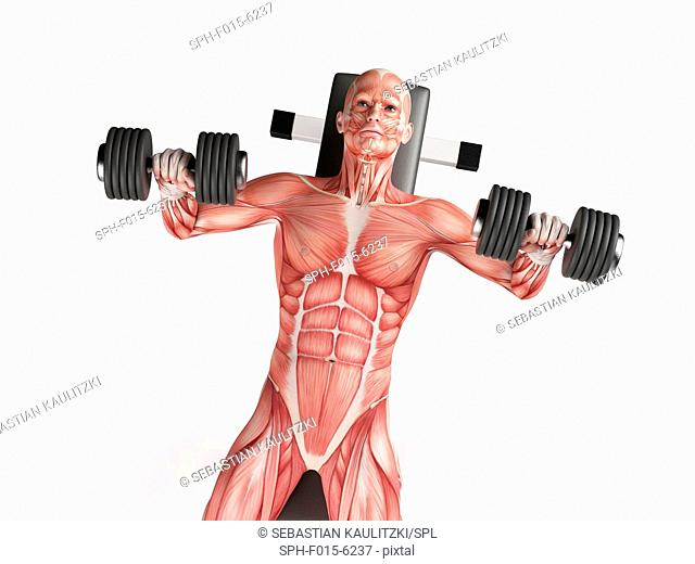 Muscular system of person doing bench press exercise, illustration