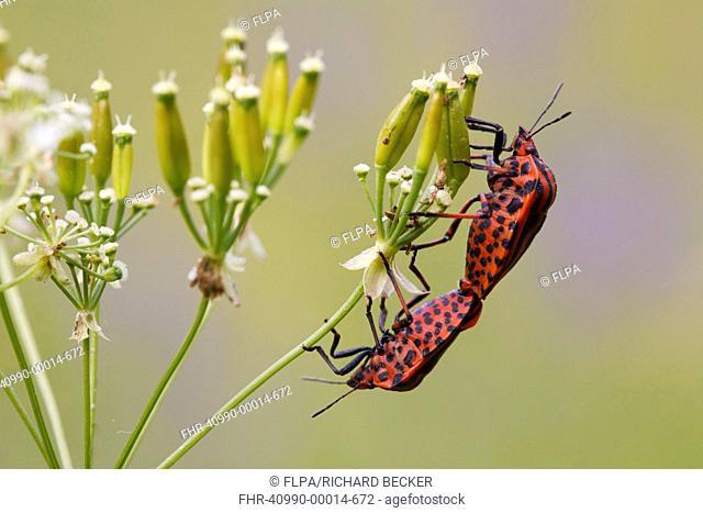 Red-and-black Striped Shieldbug Graphosoma italicum adult pair, mating on umbellifer seedhead, Causse de Gramat, Massif Central, Lot Region, France, June