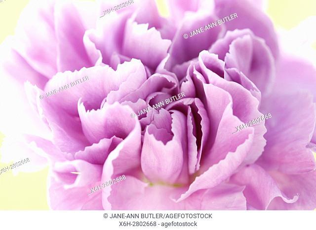 lilac carnation - entice