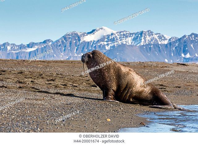 Spitsbergen, walrus