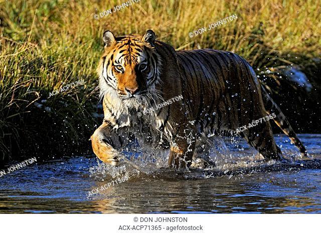 Siberian tiger Amur tiger (Panthera tigris altaica) captive in stream habitat, Bozeman, Montana, USA