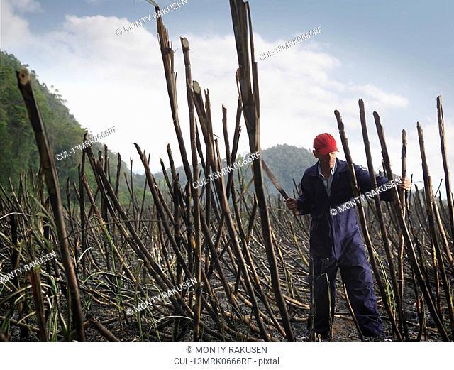 Worker Cutting Burnt Sugar Cane