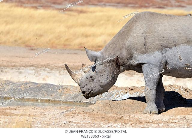 Black Rhinoceros (Diceros bicornis), adult male at waterhole, Etosha National Park, Namibia, Africa