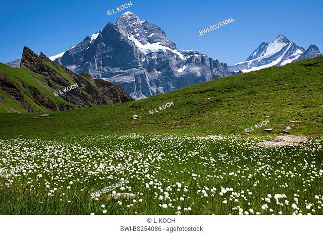 blooming cotton-grasses of Murmelital, Wetterhorn in background, Switzerland, Berne, First, Grindelwald