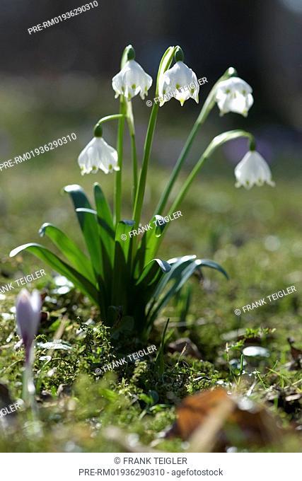 Spring Snowflake, Leucojum vernum / Großes Schneeglöckchen, Leucojum vernum