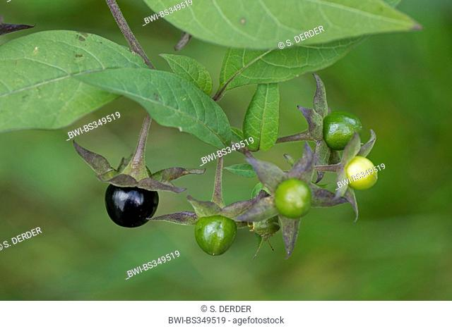 deadly nightshade (Atropa bella-donna, Atropa belladonna), fuits, Germany, Bavaria, Oberbayern, Upper Bavaria