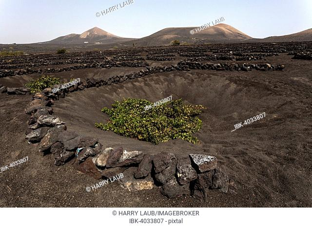 Typical vineyards in dry cultivation in volcanic ash, lava, vine, vineyard La Geria, Lanzarote, Canary Islands, Spain