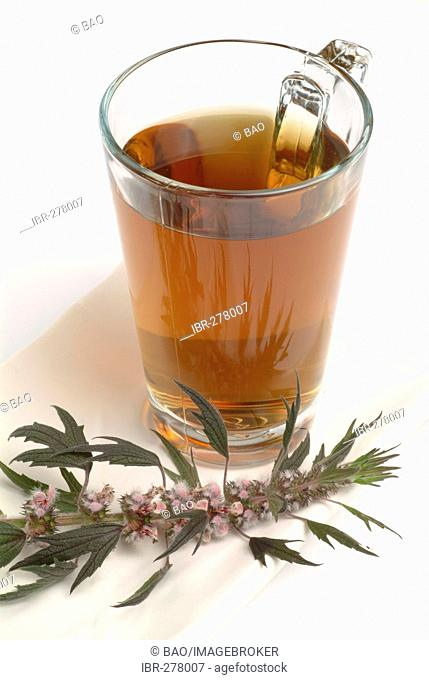 Motherwort tea, herb tea, leonurus cardiaca