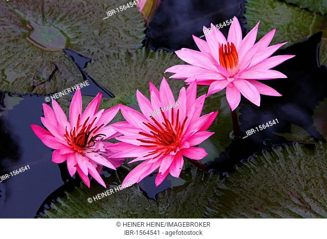 Water lilies (Nymphaea), Samosir island, Lake Toba, Batak region, Sumatra, Indonesia, Asia