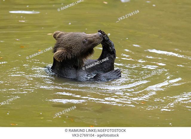 Brown Bear, Ursus arctos, Cub in pond, Bavaria, Germany