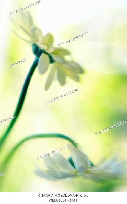 Light Yellow Gerbera Flowers. Transvaal Daisies. Gerbera jamesonii. March 2006, Maryland, USA