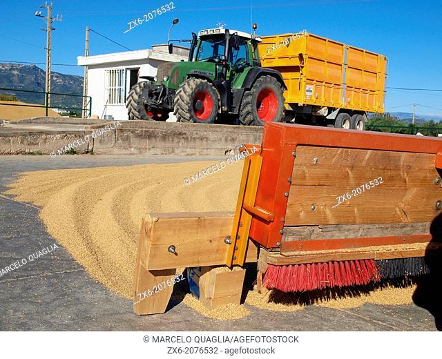 Full load tractor with rice at weighbridge. Ebro River Delta Natural Park, Tarragona province, Catalonia, Spain