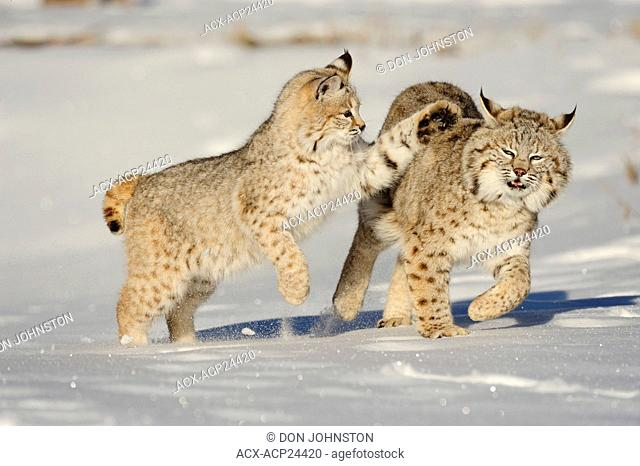Bobcat Felis rufus- captive. Baby, first winter