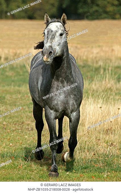 Lusitano Horse, Stallion