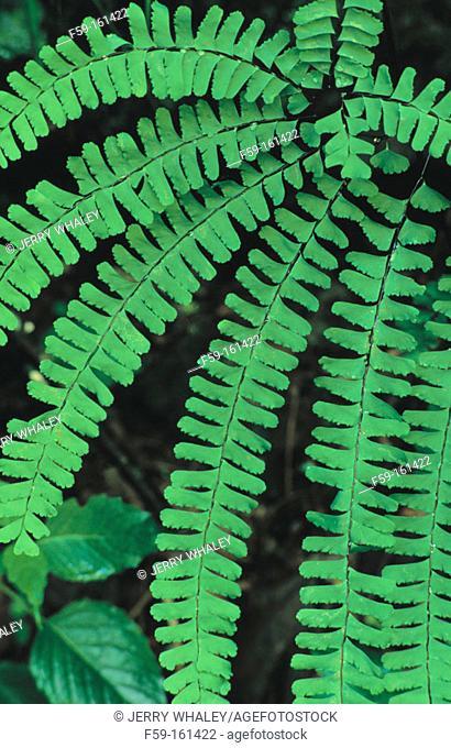 American Maidenhair Fern (Adiantum pedatum). Great Smoky Mountains NP. Tennessee. USA