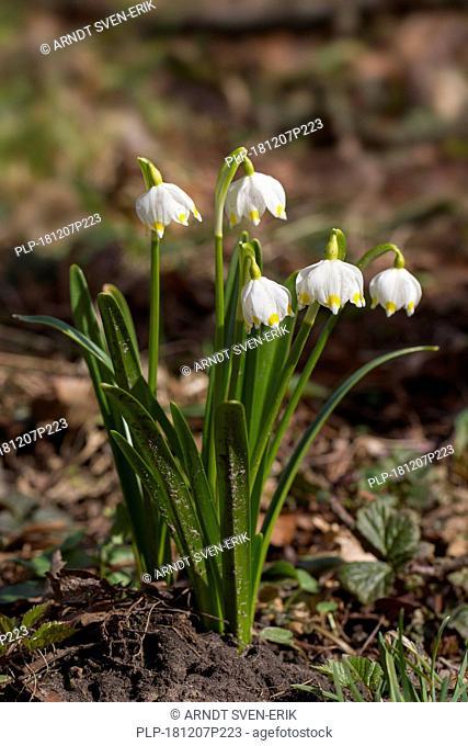 Spring snowflakes (Leucojum vernum / Galanthus vernus) in flower in spring