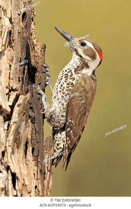 Male Arizona Woodpecker Picoides arizonae at Madera Canyon Arizona