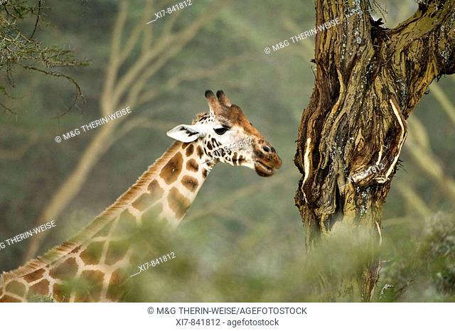 Rotschild or Baringo or Uganda Giraffe in the savannah, Giraffa camelopardalis rothschildi, Lake Nakuru National Park, Kenya, East Africa