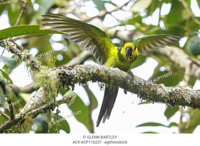 Yellow-eared Parrot (Ognorhynchus icterotis) perched on a branch in the Andes Mountains of Colombia
