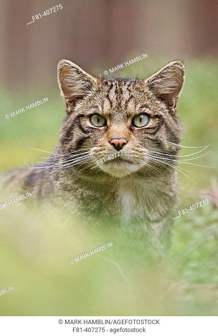 Scottish Wildcat (Felis silvestris) portrait of adult male, Scotland, UK