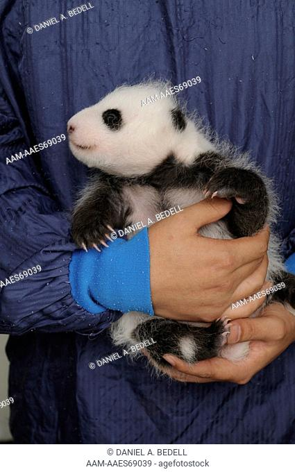 Three month old giant panda cub in researcher's arms (Ailuropoda melanoleuca) Bifengxia Giant Panda Base, CCRCGP, Ya'an, Sichuan, China, October 2009