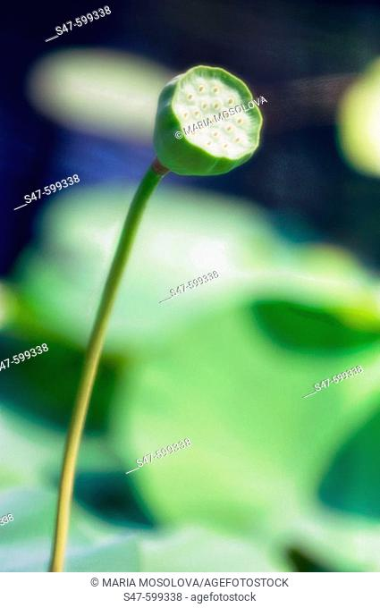 Lotus Flower Seed Head. (Nelumbo nucifera, Nelumbo pentapetala). July 2006. Maryland, USA