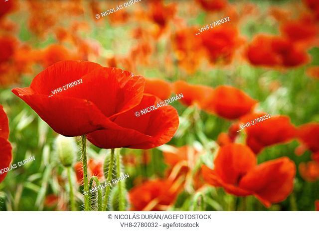 Red Poppies (Papaver rhoeas)