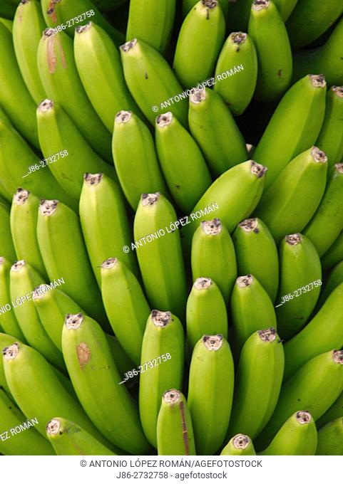 Canarian banana platano. La Palma
