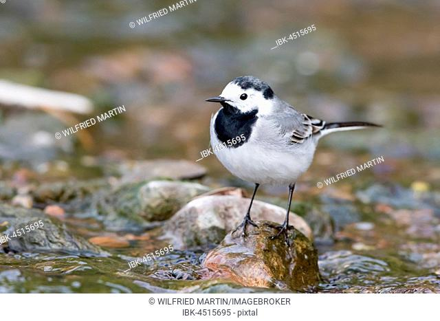 White wagtail (Motacilla alba) on stone in the brook bed, Hesse, Germany