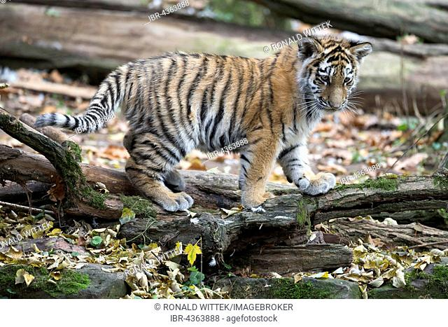 Siberian tiger, Amur tiger (Panthera tigris altaica), young animal, captive