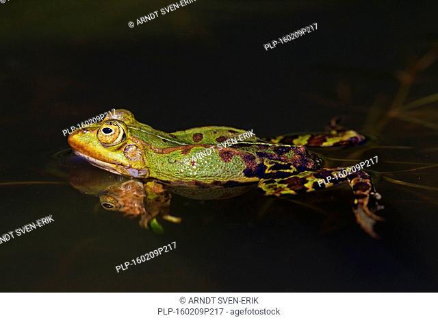 Edible frog / common water frog / green frog (Pelophylax kl. esculentus / Rana kl. esculenta) swimming in pond