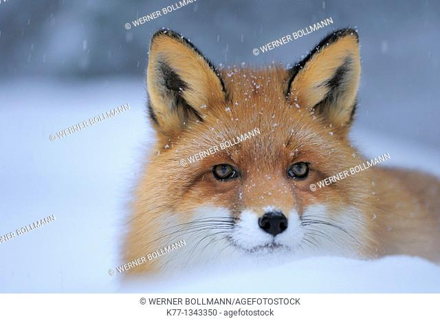 Red Fox (Vulpes vulpes), Captive, Norway, February 2010