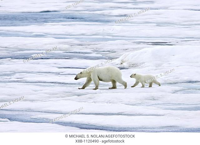 A mother polar bear Ursus maritimus with a single coy cub-of-year on first year ice floes in the Barents Sea off the eastern coast of Bˆlscheˆya Island in the...