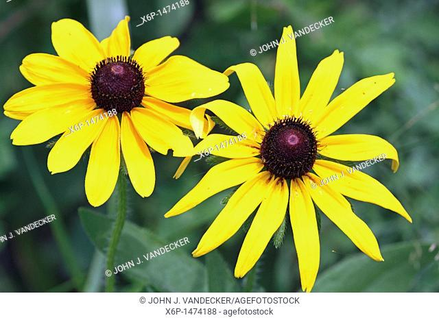 A closeup of two Black-eyed Susan flowers, Rudbeckia hirta  Richard DeKorte Park, Meadowlands, Lyndhurst, New jersey, USA, North America
