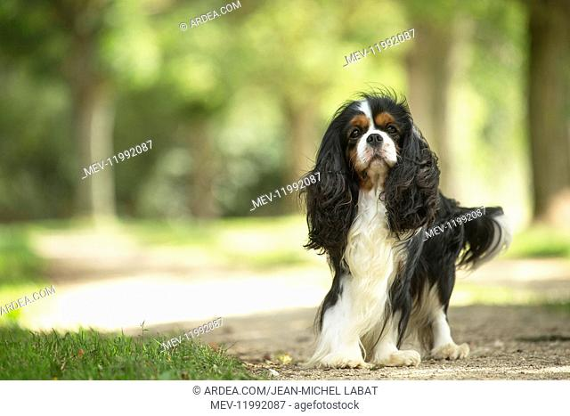 Cavalier King Charles Spaniel Dog outdoors