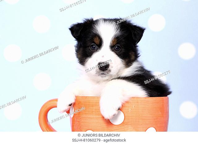 Australian Shepherd. Puppy (6 weeks old) sitting in an orange cup with white polka dots. Studio picture against a blue background with white polka dots