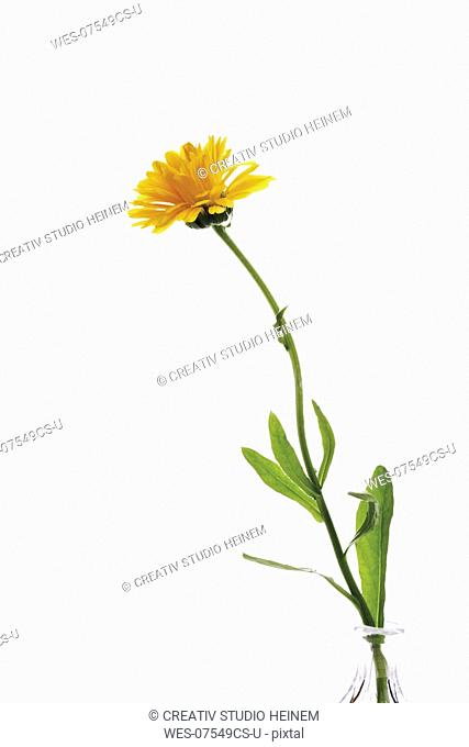 Calendula Calendula officinalis, close-up
