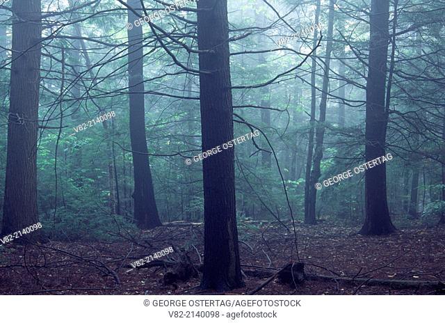 Hemlock forest, Mt. Toby State Reservation, Massachusetts