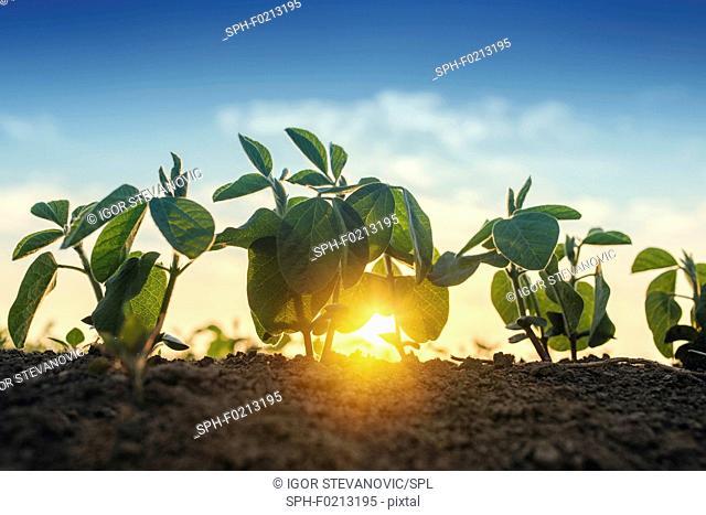Sunrise over soybean field