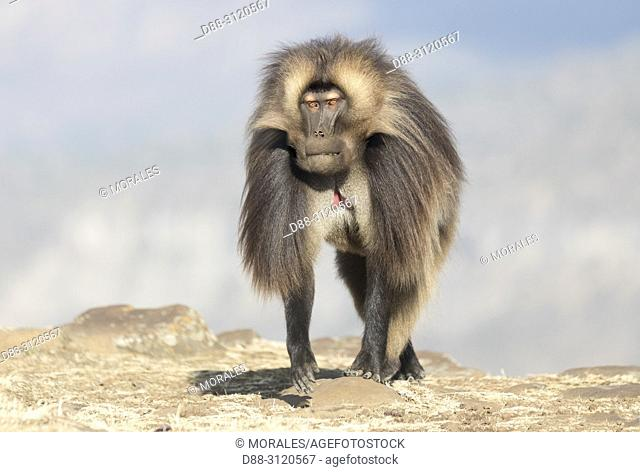 Africa, Ethiopia, Rift Valley, Debre Libanos, Gelada or Gelada baboon (Theropithecus gelada), dominant male, alone
