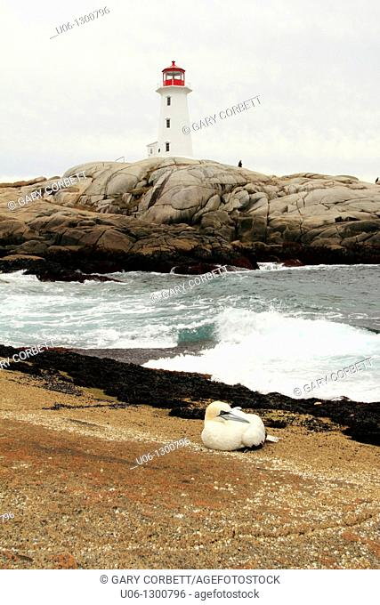 A gannet bird on the rocks in front of the Peggy's Cove Lighthouse Nova Scotia