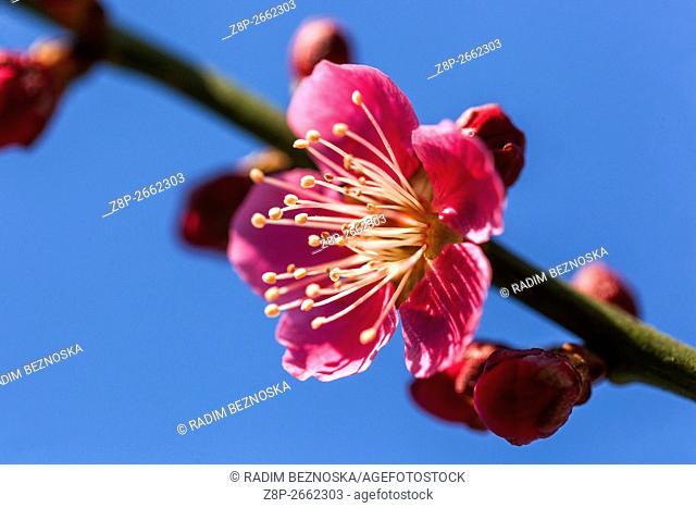 Prunus Mume Benishidori blooming