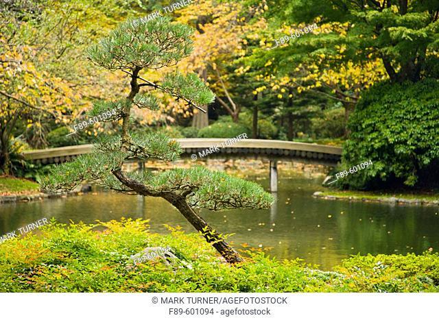 Small Pine w/ 77-log bridge at edge of pond soft bkgnd, autumn (Pinus sp.; Nandina domestica). Nitobe Memorial Garden, UBC, Vancouver, BC